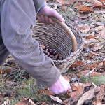 La nostra azienda: raccolta di castagne